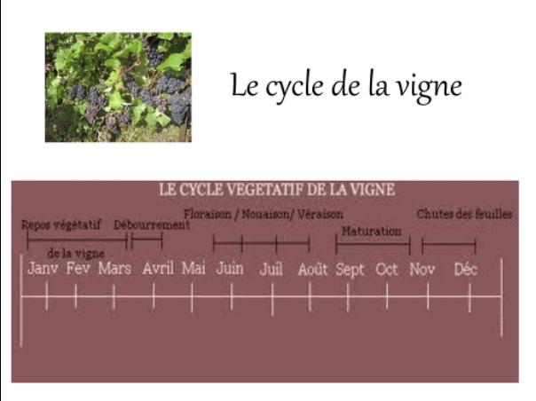 Voici un petit schéma pour vous présenter le cycle végétatif de la vigne.