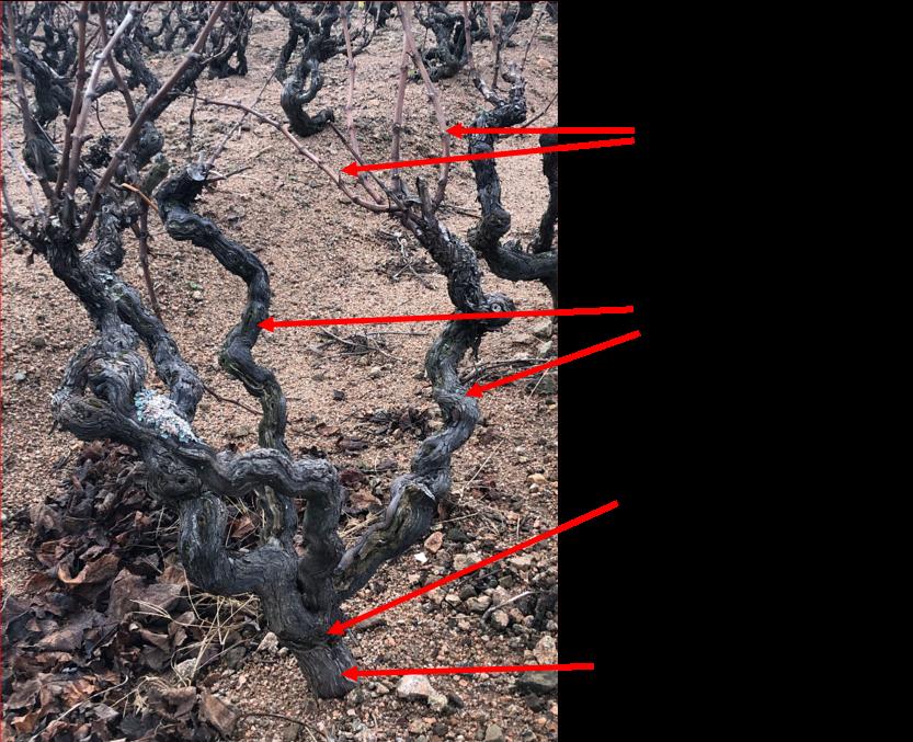 Photo d'un pied de vigne détaillé. Les différentes parties qui composent la vigne : Sarments, Porteurs, Bourrelet de greffage, Porte de greffe Americain.