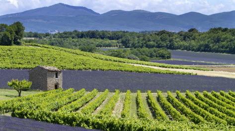 Champ de lavande et de vigne, situé en Drôme Provençale.